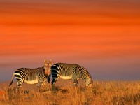 Блог Павла Аксенова. Кения. Cape Mountain Zebras. Фото EcoPic Depositphotos