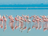 Блог Павла Аксенова. Кения. Flocks of flamingo, lake nakuru, kenya. Фото javarman - Depositphotos