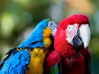 Мексика. Xcaret. Colorful macaw parrots. Фото shalamov - Depositphotos