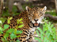 Мексика. Jaguar in wildlife park of Jucatan in Mexico. Фото Patryk Kosmider - Depositphotos
