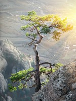 Крым. Lonely pine on a rock in the sunlight. Фото Givaga - Depositphotos