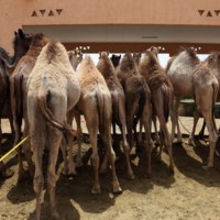 Клуб путешествий Павла Аксенова. ОАЭ. Эмират Абу-Даби. Camel Market in Al Ain. Фото philipus - Depositphotos