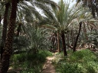 ОАЭ. Абу-Даби. Date Palm Trees in the Oasis of Al Ain. Фото philipus - Depositphotos