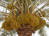 ОАЭ. Абу-Даби. Arabian Dates. Фото David Steele - Depositphotos