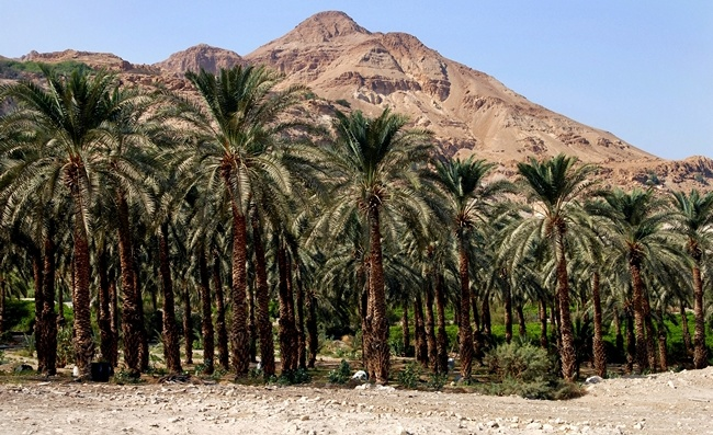 Клуб путешествий Павла Аксенова. Израиль. Plantation of palm trees at Ein Gedi in the Dead Sea area, Israel. Фото lucidwaters - Depositphotos