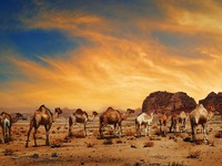 Иордания. Camels in desert of Wadi Rum, Jordan. hitdelight - Depositphotos