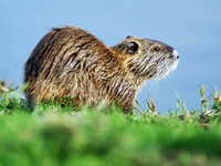 Иордания. Wildlife Photos - Nutria. Фото Rafael Ben-Ari - Depositphotos