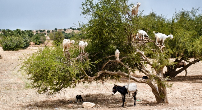 Блог Павла Аксенова. Марокканские козы. Goats eating argan fruits, Morocco, Essaouira. Фото Luisa Puccini - Depositphotos
