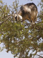 Блог Павла Аксенова. Марокканские козы. Tree Climbing Goat. Фото Jeremy Richards - Depositphotos