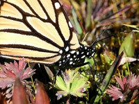 Monarch butterfly, Danaus plexippus, in Mexico. Фото Roger De Marfa Taillefer - Depositphotos