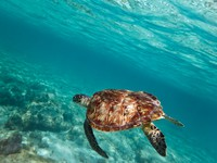 Green turtle swiming in Caribbean sea. Фото Patryk Kosmider - Depositphotos