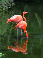 Two pink flamingos are searching feed in the water. Фото Alexander Sviridov - Depositphotos