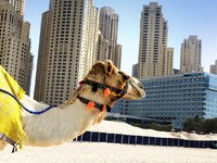 ОАЭ. Дубай. Hilton Dubai Jumeirah. Camel in the city. Фото beatrice preve - Depositphotos