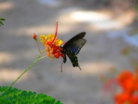 Барбадос. A Swallowtail butterfly (possibly a pipevine swallowtail aka Battus philenor) on a bright red and orange flower. Фото SK Wier - Depositphotos