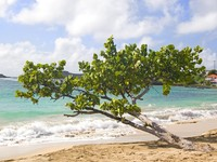 Сент Винсент и Гренадины. A tropical tree on the beach at Friendship Bay, Bequia in the Grenadines of the Caribbean. Фото Verena Matthew - Depositphotos