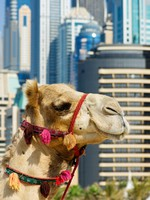 ОАЭ. Дубай Марина. Camel at the urban building background of Dubai. Фото Observer - Depositphotos