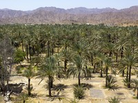 ОАЭ. Фуджейра. Palm oasis in the hot desert. Фото pepj - Depositphotos