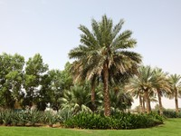 ОАЭ. Аль Айн. Palm Trees in Al Ain, Oasis City. Фото philipus - Depositphotos