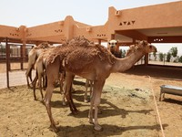 ОАЭ. Аль Айн. Camel Market in Al Ain, Emirate of Abu Dhabi. Фото philipus - Depositphotos