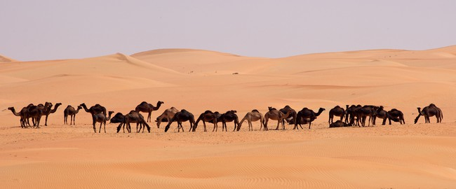 ОАЭ. Пустыня Руб-эль-Хали (Rub' al Khali). Empty Quarter Camels. Фото  David Steele - Depositphotos