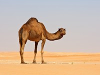 ОАЭ. Пустыня Руб-эль-Хали (Rub' al Khali). Empty Quarter Camel. Фото zambezi - Depositphotos
