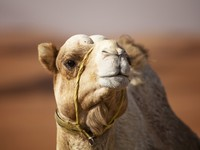 ОАЭ. Пустыня Руб-эль-Хали (Rub' al Khali). Camel in the desert. Фото Marifa - Depositphotos