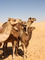 ОАЭ. Пустыня Руб-эль-Хали (Rub' al Khali). Camel Group Ajnj David Steele - Depositphotos