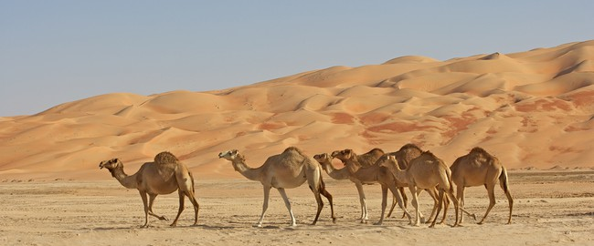 ОАЭ. Пустыня Руб-эль-Хали (Rub' al Khali). Empty Quarter Camels. Фото  zambezi - Depositphotos