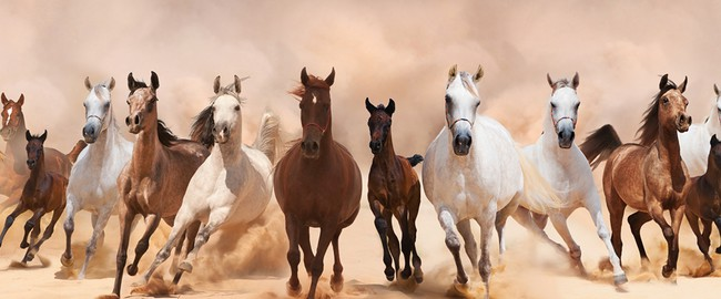 ОАЭ. A herd of horses running on the sand storm. Фото Loya-ya - Depositphotos