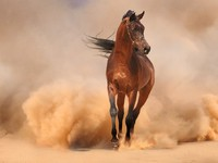 ОАЭ. Arabian horse running out of the Desert Storm. Фото Olga Mishchuk - Depositphotos