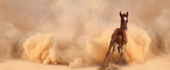 ОАЭ. Arabian foal running out of the Desert Storm. Фото Loya-ya - Depositphotos