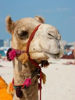 ОАЭ. Дубай. Head of a camel on a background of blue sky. Фото Observer - Depositphotos