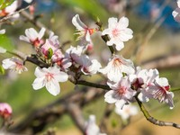 Израиль. An almond tree with white flowers with branches. Фото equilibriuman - Depositphotos