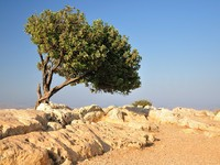 Израиль. Carob tree (the only tree) on Arbel cliff. Israel. Фото Oleg Zaslavsky - Depositphotos
