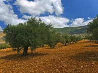 Израиль. Anciant olive grove in the Galilee, Israel. Фото Noam Armonn - Depositphotos