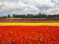 Израиль. Flower spring in Israel. Фото Avraham Kushnirov - Depositphotos