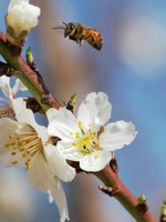Bee flying over almond flowers. Фото Rostislav Glinsky - Depositphotos