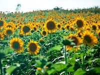 Италия. Тоскана. Sunflowers Growing in Tuscany. Фото  William Perugini - Depositphotos