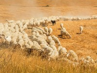 Италия. Тоскана. Herd of sheep in a field of Tuscany. Фото javarman Depositphotos