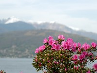 Италия. Озеро Маджоре. Azalea Flowers against the alps and Maggiore lake in Italy. Фото marcovarro - Depositphotos