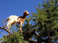 Марокко. Goat feeding in argan tree. Фото Francois Rousseau - Depositphotos