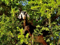Марокко. Moroccan goat in argan tree. Фото Natalija Sahraj - Depositphotos