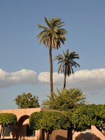 Марокко. Марракеш. Palm trees in the city of Marrakech, Morocco. Фото Philip Lange - Depositphotos