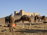 Марокко. Camels feed in the camp, Sahara desert Morocco Africa. Фото philipus - Depositphotos