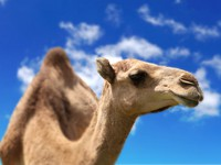 Марокко. Camel head agaisnt sky background. Фото Sergey Nivens - Depositphotos