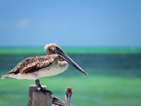 Мексика. Close up of brown pelican sitting by the sea at Mexican Holbox island. Фото Shalamov - Depositphotos