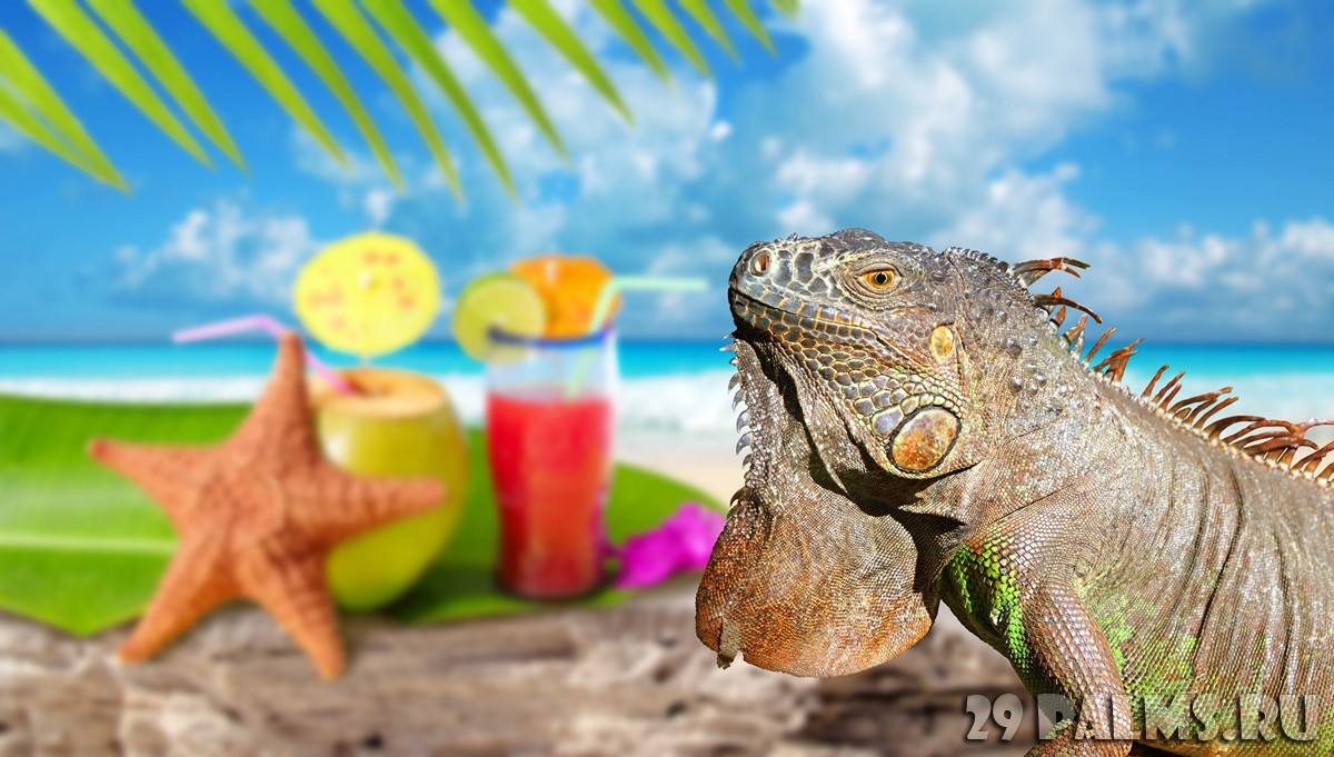 Мексика. Iguana on Mexico tropical beach cocktail coconut. lunamarina - Depositphotos