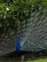 Мексика. Ривьера Майя. Iberostar Playa Paradisio Resort. Peacock. Фото urban_light - Depositphotos