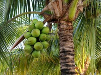 Мексика. Канкун. Coconuts on the palm tree. Фото alexsvirid - Depositphotos