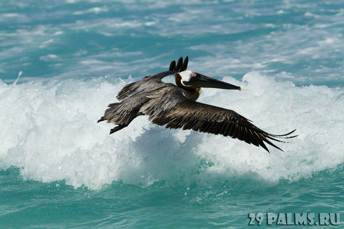Мексика. Канкун. Brown pelican. Фото urban_light - Depositphotos